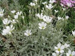 rogownica kutnerowata - cerastium tomentosum