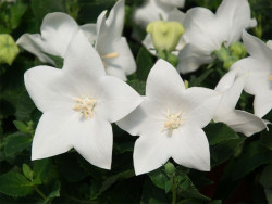 rozwar wielkokwiatowy Astra White - platycodon grandiflorus Astra White