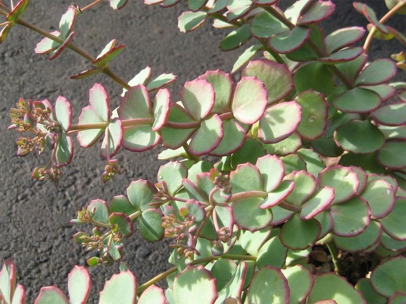 rozchodnik Siebolda - sedum sieboldii
