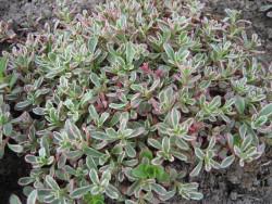 "rozchodnik kaukaski - sedum spurium ""Tricolor"""