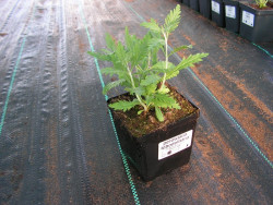 perowskia Russian Sage - perovskia atriplicifolia Russian Sage