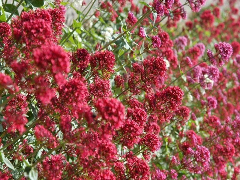 ostrogowiec czerwony Rosenrot - Centranthus ruber Rosenrot