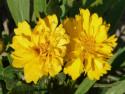 nachyłek Presto - coreopsis grandiflora Presto