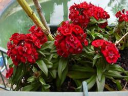 goździk brodaty Barbarini Red  - dianthus barbatus Barbarini Red