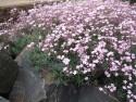 Gipsówka, łyszczec Rosea - gypsophila repens Rosea