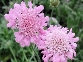 driakiew Pink Diamonds - Scabiosa japonica var. alpina Pink Diamonds