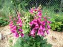 naparstnica Camelot Rose - digitalis purpurea Camelot Rose