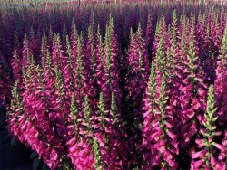 naparstnica Camelot Rose - digitalis purpurea Camelot Rose