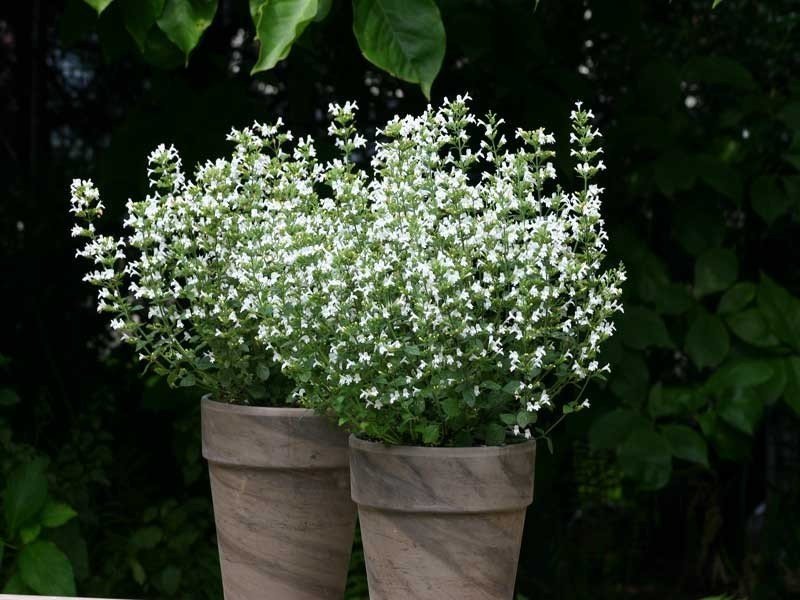 kalaminta Marvelette White - Calamintha nepeta Marvelette White