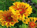 gailardia wielkokwiatowa Moxie - gaillardia grandiflora Moxie