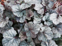 żurawka Cinnabar Silver - heuchera Cinnabar Silver