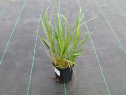 trzcinnik Karl Foerster - calamagrostis acutiflora Karl Foerster