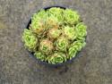 rojnik ogrodowy 7 - sempervivum x hybridum