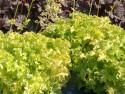 żurawka Lime Marmalade - heuchera Lime Marmalade