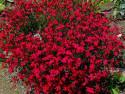 "goździk kropkowany - Dianthus deltoides ""Brillant"""