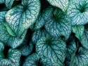 brunnera Alexander's Great - Brunnera macrophylla Alexander's Great