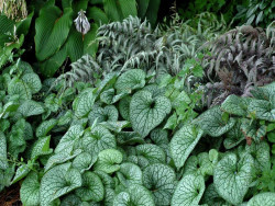 brunnera Alexander's Great - Brunnera macrophylla Alexander's Great