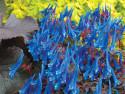 kokorycz Blue Heron - Corydalis Blue Heron