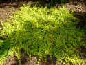 tojeść rozesłana Goldilocks - lysimachia nummularia Goldilocks
