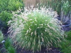 rozplenica Hameln - Pennisetum alopecuroides Hameln