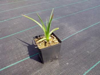 trytoma groniasta - kniphofia uvaria