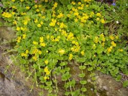 "tojeść rozesłana Aurea - lysimachia nummularia ""Aurea"""