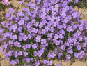"żagwin ogrodowy - aubrieta x cultorum ""Campbelli"""
