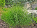 turzyca palmowa Little Midge - Carex muskingumensis Little Midge