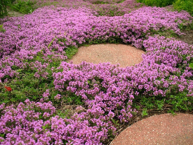 macierzanka piaskowa - thymus serphyllum