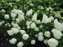 Hortensja bukietowa Polar Bear - Hydrangea paniculata Polar Bear