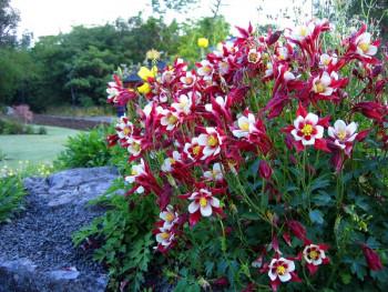 orlik Crimson Star - aquilegia caerulea Crimson Star