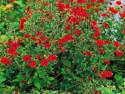 pięciornik krwisty Red - Potentilla atrosanguinea Red