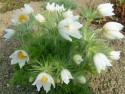 sasanka Alba - Pulsatilla vulgaris Alba
