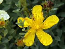 dziurawiec wielolistny Grandiflorum - Hypericum polyphyllum Grandiflorum