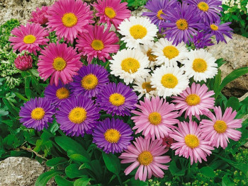 aster alpejski Happy End - Aster alpinus Happy End
