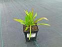 przymiotno ogrodowe - erigeron speciosus