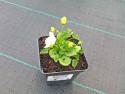 dzwonek karpacki White - campanula carpatica Peral White