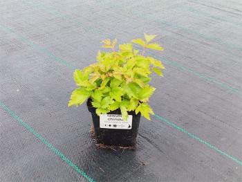 Tawułka chińska - Astilbe chinensis var. pumila