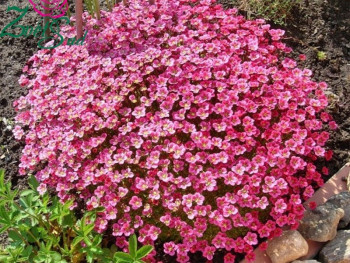 skalnica Purpurteppich - saxifraga x arendsii purpurteppich