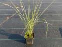 trzcinnik ostrokwiatowy Overdam - calamagrostis acutiflora Overdam