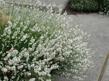 lawenda wąskolistna Edelweiss - lavandula angustifolia Edelweiss