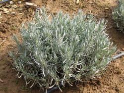lawenda wąskolistna Hidcote Blue - lavandula angustifolia