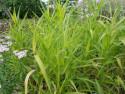 Phalaris arundinacea Arctic Sun - Mozga trzcinowata Arctic Sun