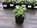 dzielżan Salsa - Helenium hybridum Salsa