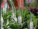 przetacznik Snow Candles - Veronica spicata Snow Candles