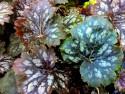 żurawka Marvelous Marble - heuchera Marvelous Marble