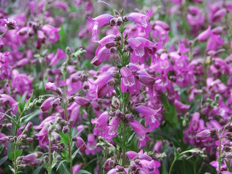 penstemon Carillo Purple - penstemon x mexicali Carillo Purple