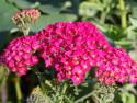 krwawnik pospolity Cerise Queen - achillea millefolium Cerise Queen