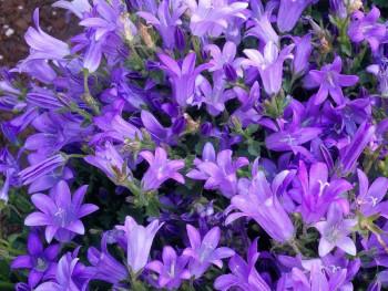 dzwonek dalmatyński Clockwise Deep Blue  - campanula portenschlagiana Clockwise Deep Blue