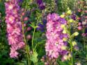 ostróżka Pacific Astolat - delphinium x cultorum Pacific Series Pacific Astolat